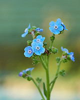 Chinese forget me not flowers. Image taken with a Fuji X-H1 camera and 80 mm f/2.8 OIS macro lens