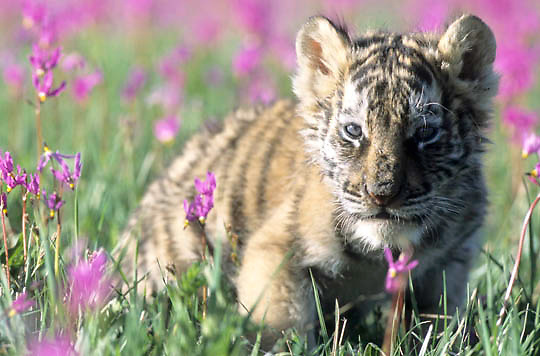 Siberian Tiger, (Panthera tigris altaica) Cub. Captive Animal.