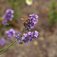 Honeybee on lavender flower