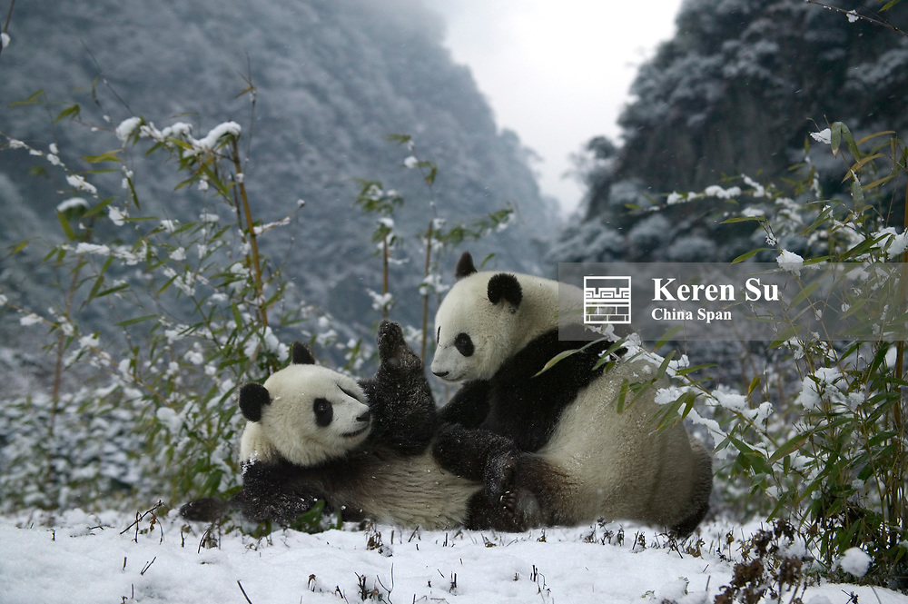 Two Giant pandas on snow, Wolong Valley, Sichuan Province, China