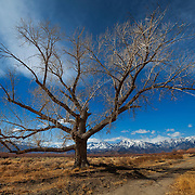 Lone Barren Tree - North Bishop, CA