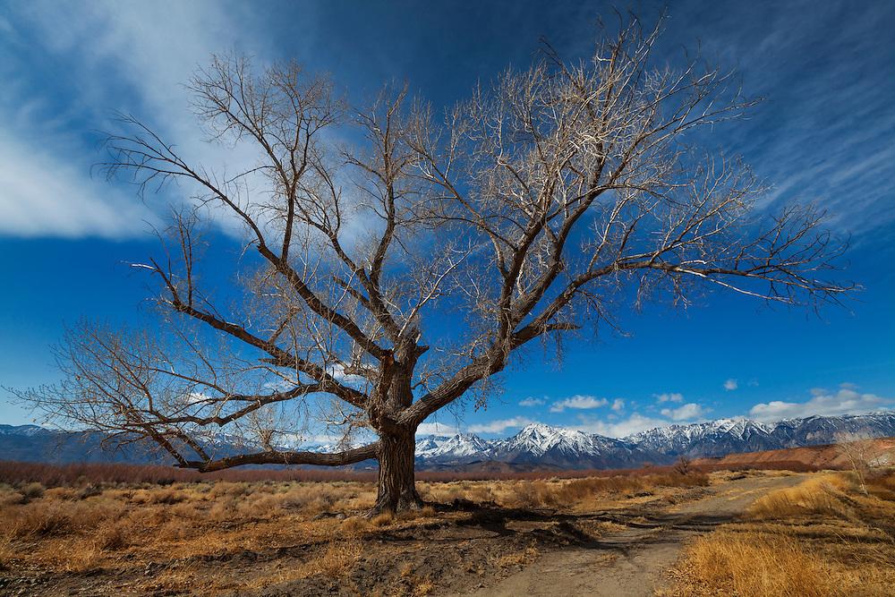Lone Barren Tree - North Bishop, CA