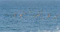 Mixed flock of sandpipers in flight, Cherry Hill Beach, Nova Scotia, Canada