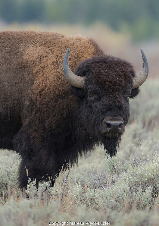 American Bison bull, Bison bison, Grand Tetons National Park, Wyoming, USA