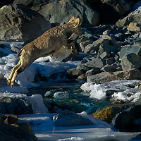 Blue Sheep - Male photographed crossing a frozen stream in Spiti, India.