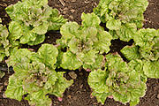 Big Island Lettuce bred by Glenn Teves