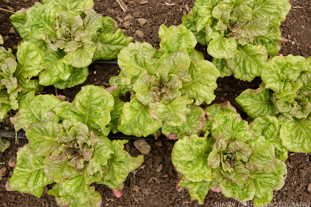 Big Island Lettuce bred by Glenn Teves