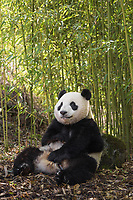 Giant panda, Ailuropoda melanoleuca, sitting upright in a bamboo grove, leaning against a rock.