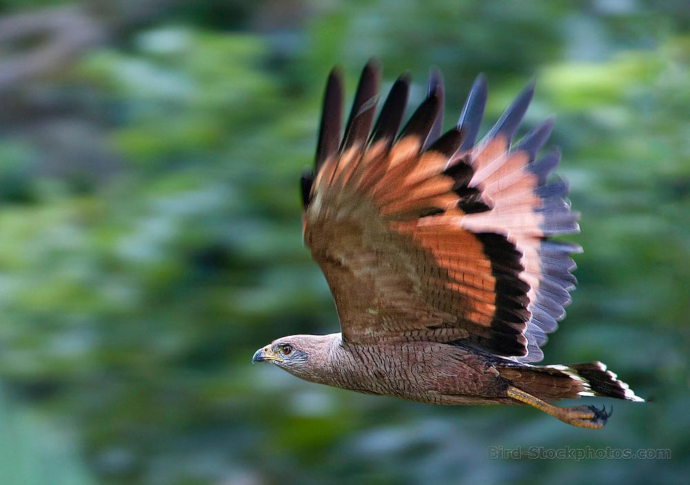 Savanna Hawk, Buteogallus meridionalis, Panama Canopy Lodge, Panama