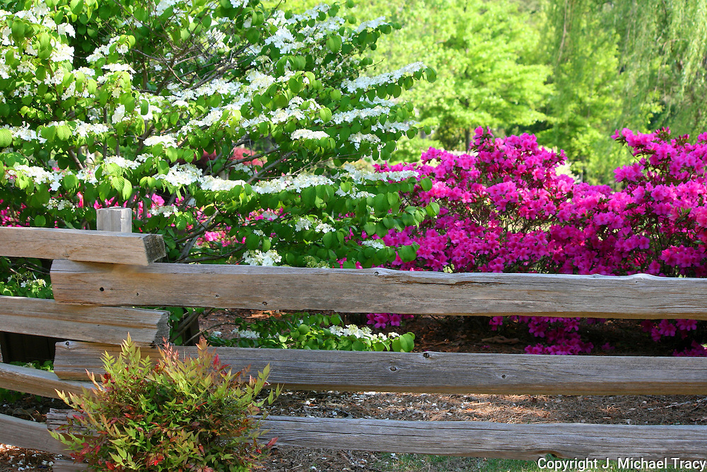 Behind a country wooden fence are a gorgeous Dogwood along with pink and magenta Azaleas.