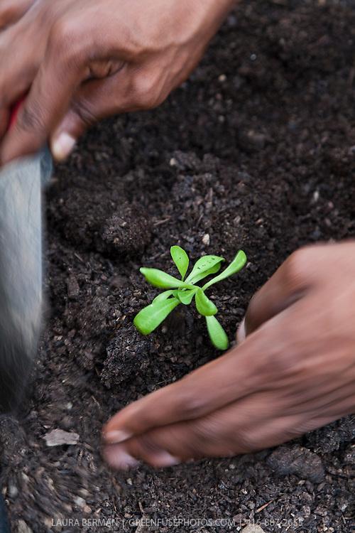 A gardener transplants seedlings in a roodtop garden.