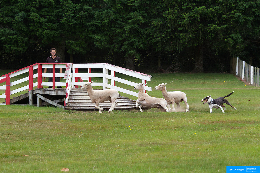 A sheep dog demonstration at Agrodome, Rotorua. The Agrodome offers visitors the experience of seeing through the eyes of a New Zealand farmer. Situated just north of Rotorua city on a scenic 160 hectare sheep and beef farm, Agrodome gives visitors an educational and hands-on experience..  Agrodome includes a Sheep Show featuring 19 breeds of sheep, sheep shearing, cow milking, lamb feeding and dog demonstrations. .The Organic Farm Tour gives visitors a hands-on experience with a variety of farm animals. Rotorua, New Zealand,. 10th December 2010 Photo Tim Clayton.