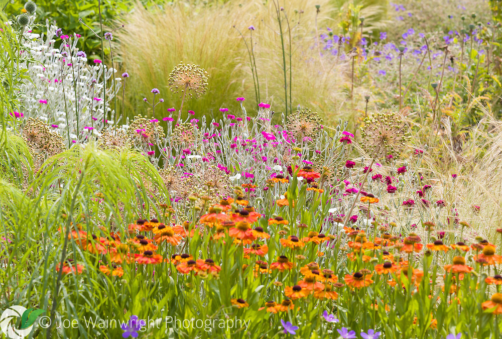 A beautiful mix of plants at Bluebell Cottage Gardens, Cheshire, including heleniums, grasses, verbena bonariensis, lychnis coronaria, geraniums and the seed heads of alliums - photographed in July.