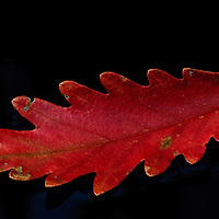 Close-up of an autumn oak leaf floating in the tannin-rich water of a drainage ditch in early morning light, Blackwater National Wildlife Refuge, Cambridge, Maryland