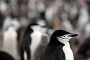 Lallemand Fjord, Antarctic Peninsula, Antarctica - Chinstrap penguins sit in a rookery on Half Moon Island among the South Shetland Islands.<br />  &copy;Ann Inger Johansson/zReportage/Exclusivexpix media