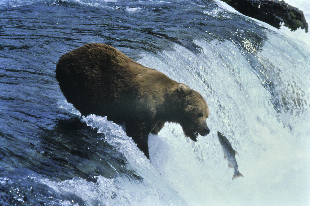 Male about to catch a salmon in mid-leap. Katmai, Alaska