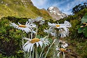 Mountain daisies (Celmisia genus) bloom under Mount Awful near the headwaters of the Young River, on the Gillespie Pass Track, in Mount Aspiring National Park, Southern Alps, Otago region, South Island of New Zealand. UNESCO lists Mount Aspiring as part of Wahipounamu - South West New Zealand World Heritage Area.