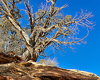 Old tree on a hill at Kelley's Place near Cortez, Colorado. Image taken with a Nikon D3 camera and 70-200 mm f/2.8 VR lens (ISO 200, 70 mm, f/16, 1/125 sec).