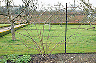Rosa 'Alister Stella Gray' trained against a fence at West Dean Gardens