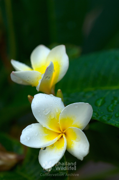 White Frangipani, Plumeria obtusa, flowers in Thailand
