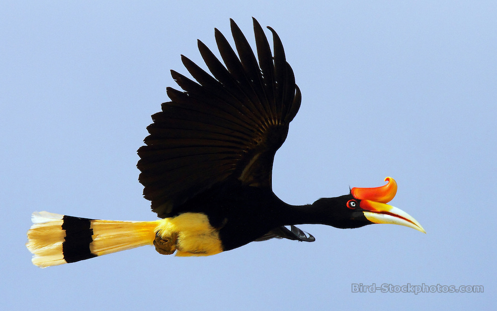 Rhinoceros Hornbill, Buceros rhinoceros, flight, Kinabatangan River, Borneo, Malaysia, by Adam Riley