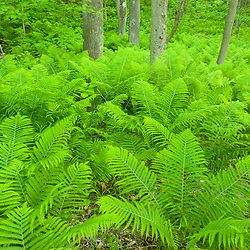 Ostrich ferns, Matteuccia Struthiopteris, in a floodplain forest next to the Connecticut River in Hartland, Vermont.