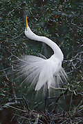 Great Egret displaying during mating season