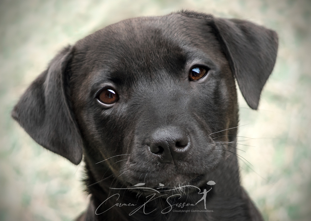 A black, mixed breed puppy poses for a picture, Jan. 1, 2015, in Coden, Alabama. (Photo by Carmen K. Sisson/Cloudybright)