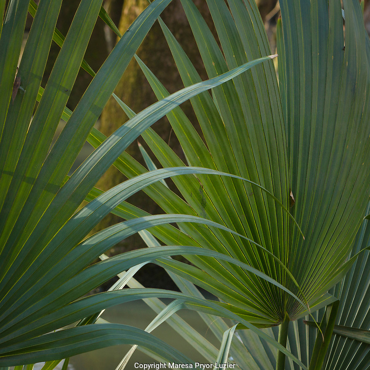 Palmetto leaves inside of a floodplain forest, Florida Caverns State Park, Florida