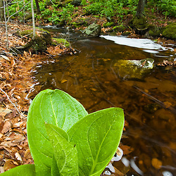 Skunk Cabbage in Devils Hopyard State Park Connecticut USA