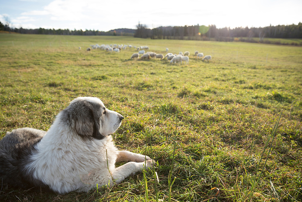 Great Pyrenees guarding their flock of sheep