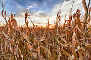 USA, Nebraska, near Omaha. Sunset over a cornfield in the fall.