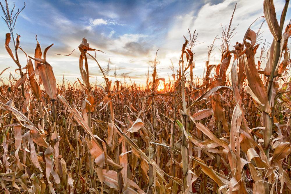 USA, Nebraska, near Omaha. Sunset over a cornfield in the fall.