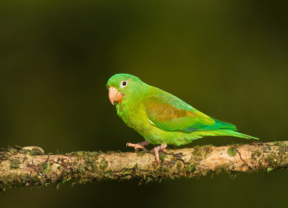 Orange-chinned Parakeet (Brotogeris jugularis), perched on a branch in a Costa Rican rainforest. Also known as the Tovi Parakeet, this small mainly green parrot is of the Brotogeris genus.