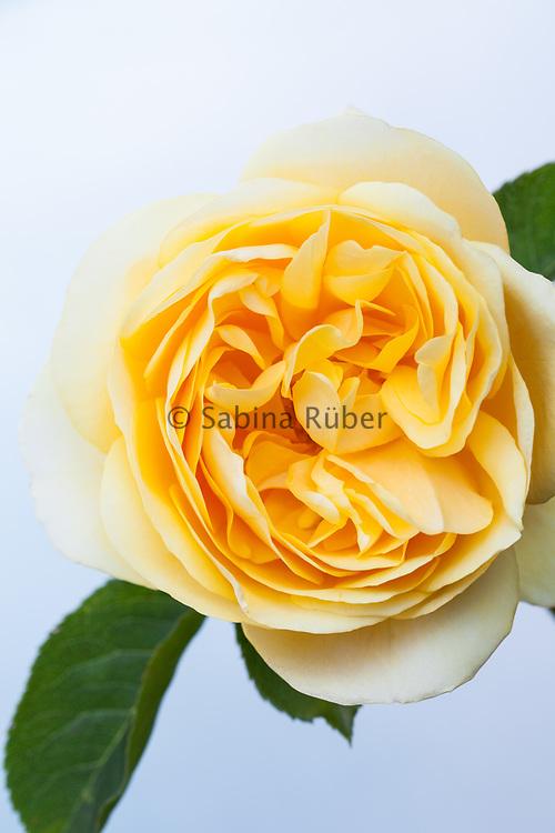 Rosa 'Graham Thomas' - English Rose by David Austin - shrub rose