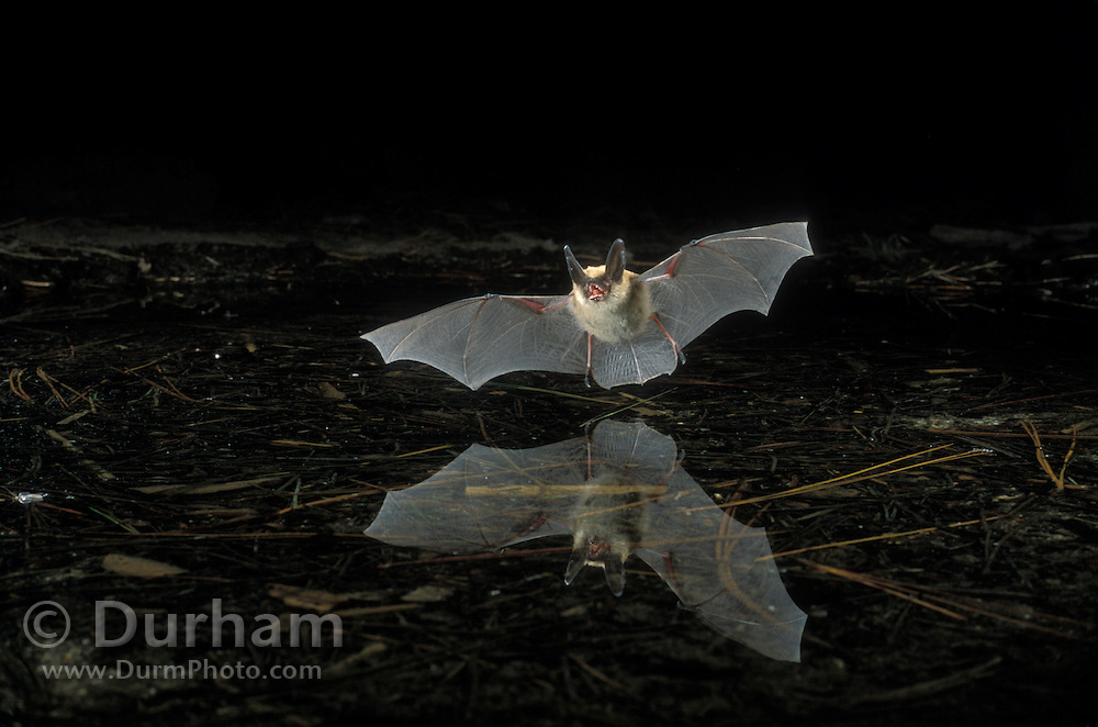A western long-eared myotis (Myotis evotis) flying over a pond near Fort Rock State Monument. Dechuutes National Forest, Oregon.
