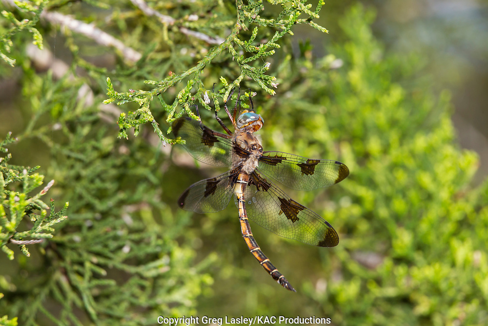 Prince Baskettail<br /> Epitheca princeps<br /> male<br /> Southeast Metro Park,<br /> Travis Co., Texas<br /> 8 April 2012