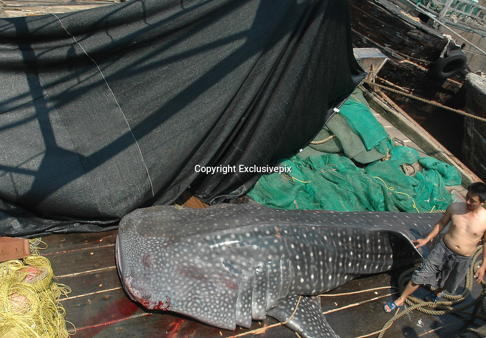 BEIHAI, CHINA - MAY 12:(CHINA OUT) <br /> <br /> 6.3-meter-long Huge Whale Shark Caught In Beihai<br /> <br /> A general view of a huge whale shark caught unintentionally by two Guangdong trawlers near Xieyang Island  in Beihai, Guangxi Province of China. The 6.3-meter-long, 2.9-meter-wide whale shark has a 1.4-meter-wide mouth and weighs about 1,000 kilograms. A fisherman surnamed Huang said it was the first time to catch such a huge fish and according to local customs they freed it back to sea the next day. <br /> ©Exclusivepix