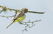 Brown-crested Flycatcher - Myiarchus tyrannulus sitting on a limb and preening