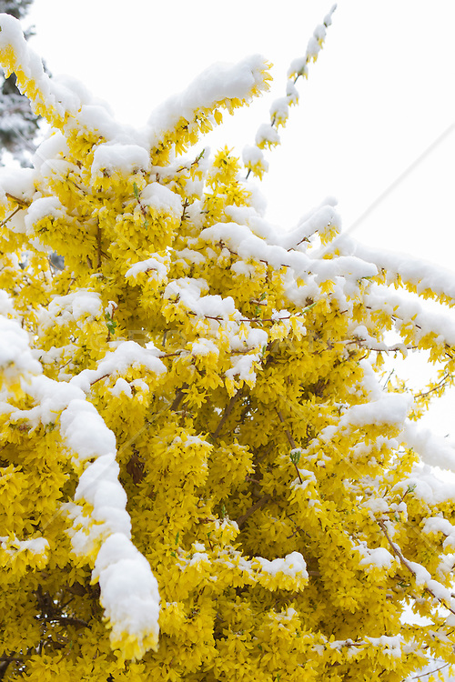 Fortheyea plant in bloom covered in snow