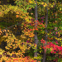 Peak autumn foliage along wooded trail, central Ohio.