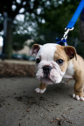 Bulldog Puppy on Leash