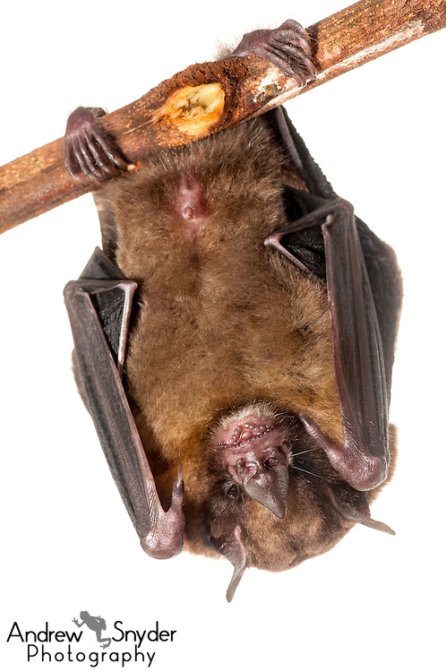 Yellow-shouldered bat (Sturnira tildae) -Iwokrama, Guyana