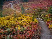 Huckleberry bushes and spirea along the Naches Peak loop trail near Chinook Pass in Mount Rainier National Park, Washington, USA