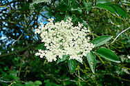 ELDER Sambucus nigra (Caprifoliaceae) Height to 10m<br /> Deciduous shrub or small tree with spreading, outcurved main branches and corky bark. Grows in woodland, scrub and hedgerows, thriving best on chalky and nitrogen-enriched soils. FLOWERS are 5mm across and creamy white; borne in flat-topped clusters, 10-20cm across (Jun-Jul). FRUITS are blackish purple berries, borne in clusters. LEAVES are unpleasant-smelling and divided into 5-7 leaflets. STATUS-Widespread and common.