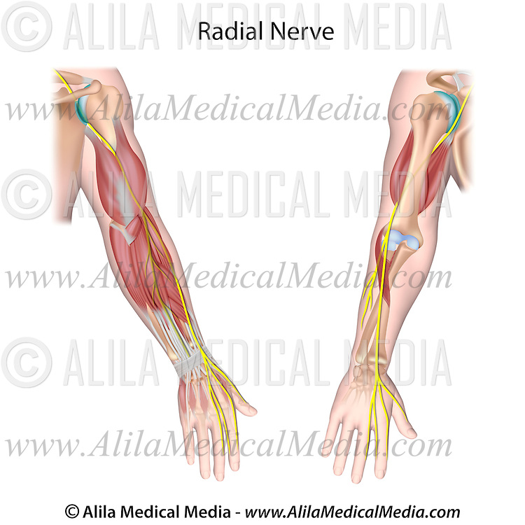 Radial Nerve Alila Medical Images