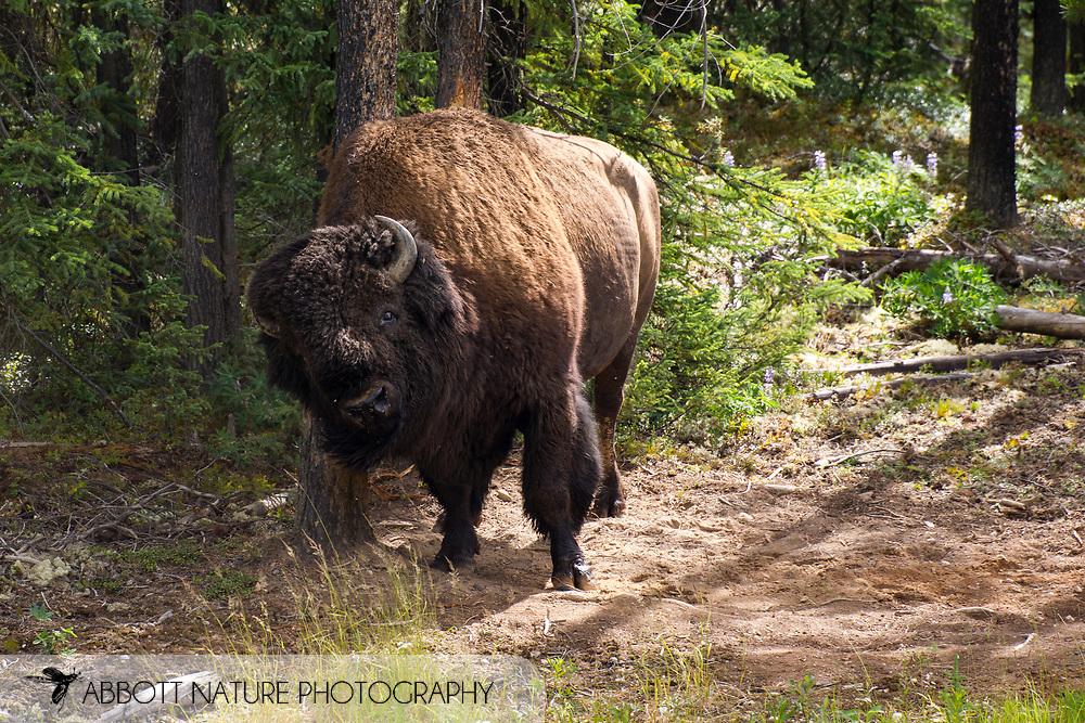 Wood Bison, Mountain Bison, Wood Buffalo or Mountain Buffalo (Bison bison athabascae) rubbing against tree at wallow<br /> CANADA: British Columbia (Stikine Region)<br /> along Alaska Highway<br /> 18-July-2012<br /> J.C. Abbott &amp; K.K. Abbott