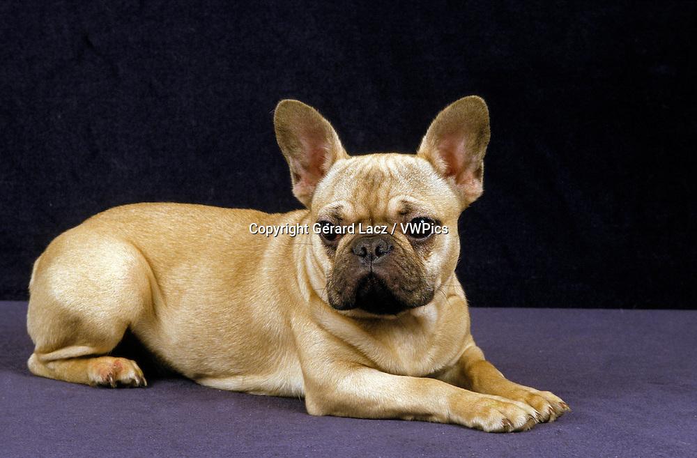 French Bulldog, Adult laying