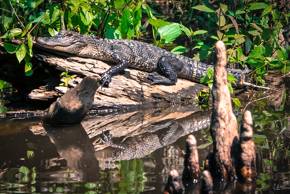 Alligator on a log in a bayou leading to Lake Boeuf in Southern Louisiana.