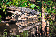 Alligator on a log in a bayou leading to Lake Boeuf in Southern Louisiana.
